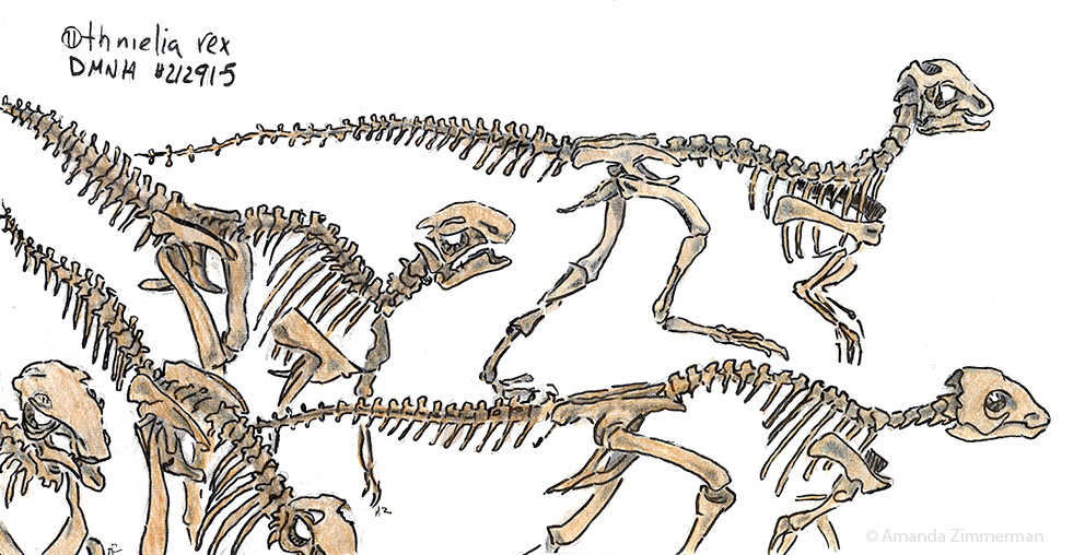 Othnielia Rex Denver Museum of Natural History