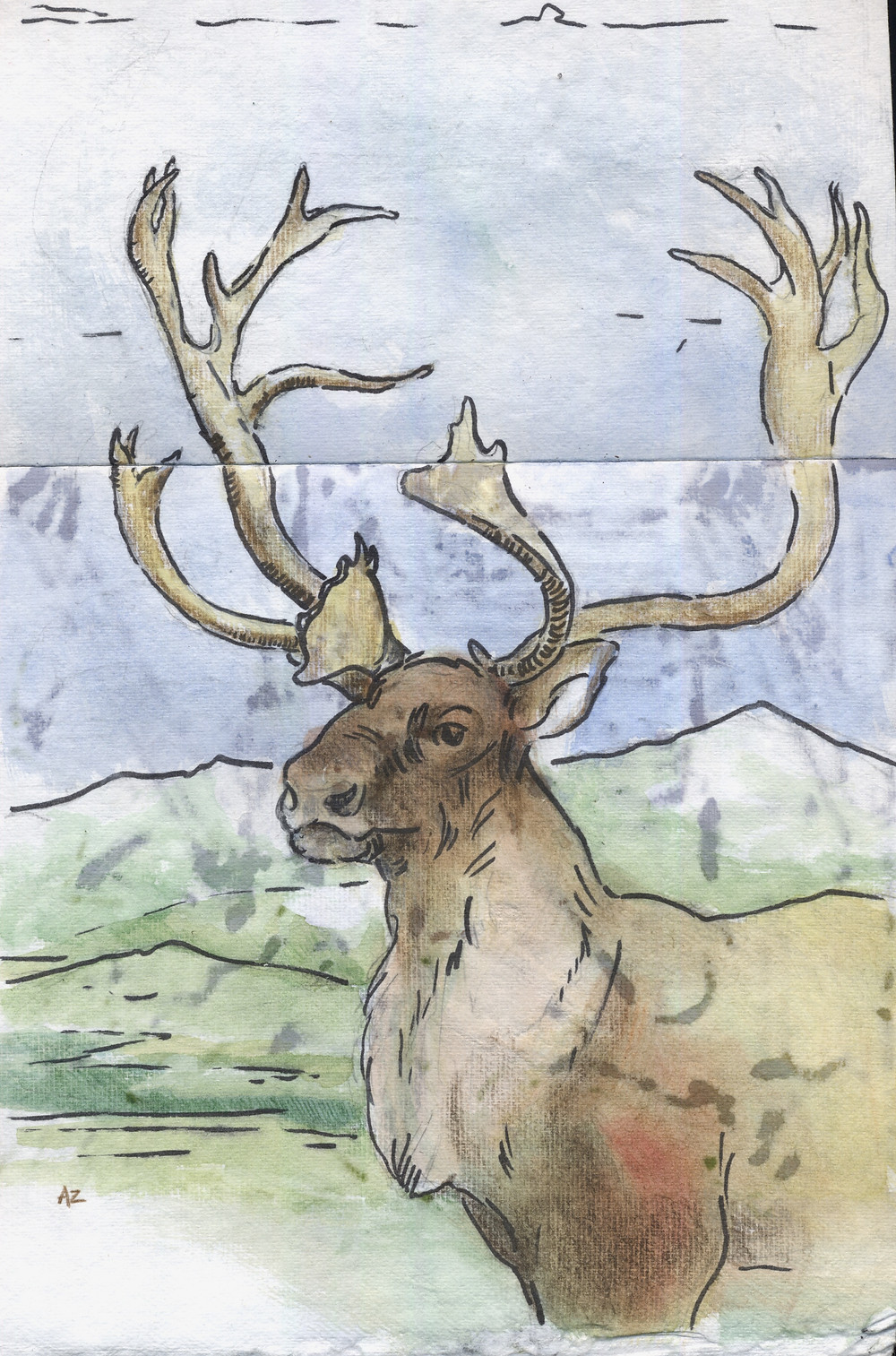 Caribou in watercolor and pencil © Amanda Zimmerman