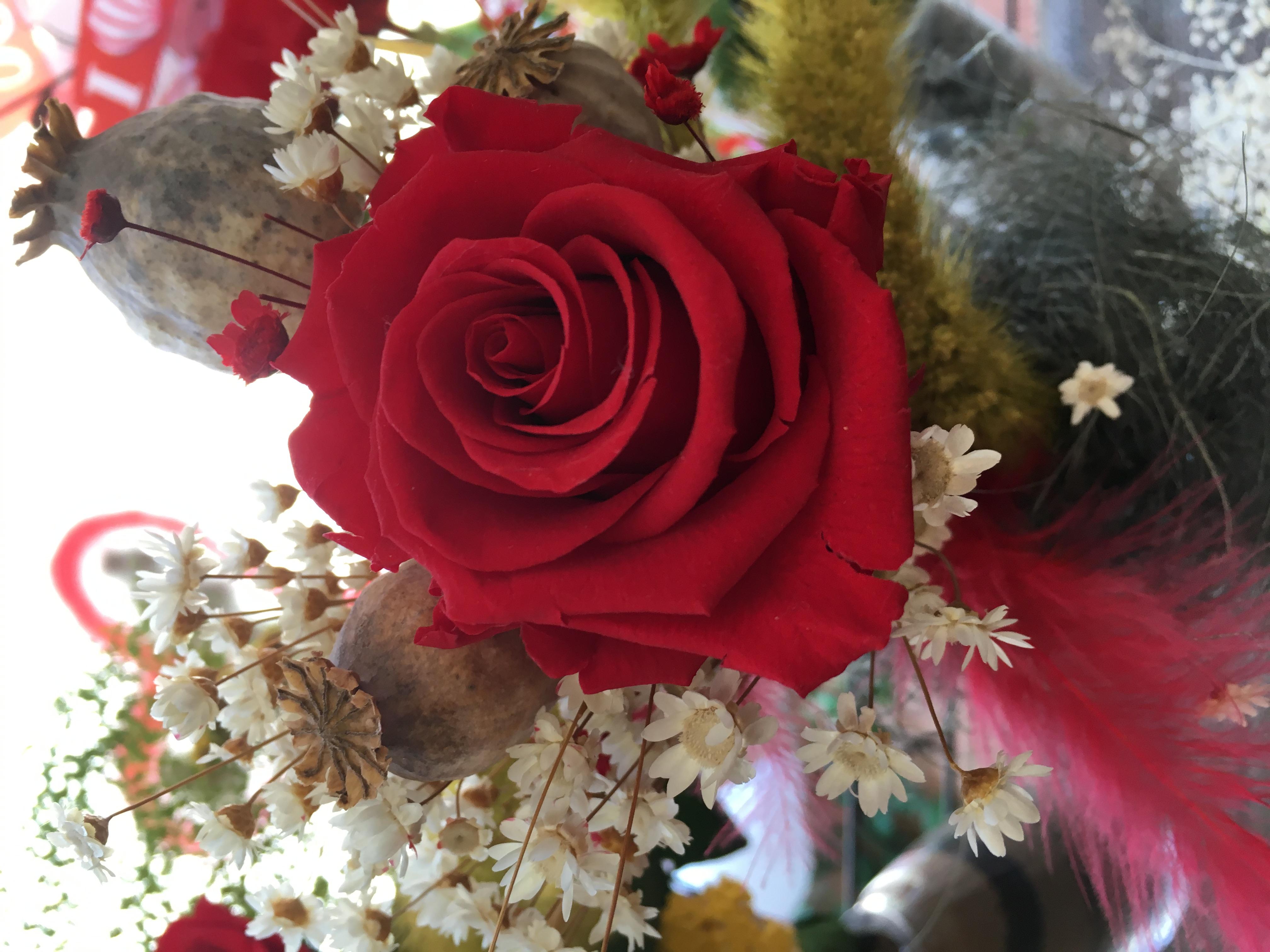 rosa liofilizada violetero