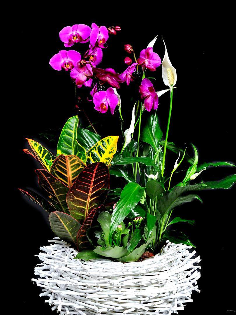 nido bl plantas orquidea.JPG