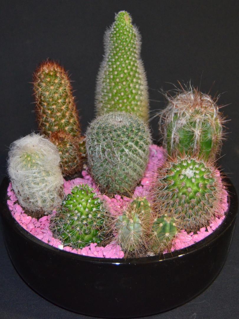 centro cactus.JPG