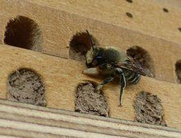 Nisthilfen_Wildbienen_Blattschneiderbien