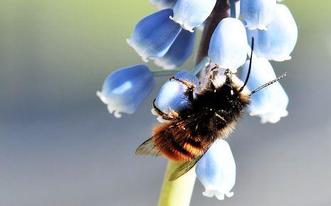 Wildbienen_Lebensweise_Gehoernte Mauerbi