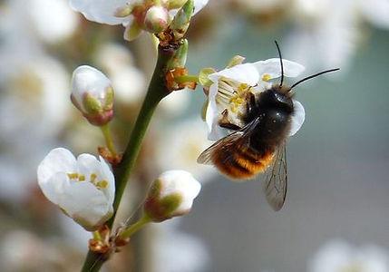 Wildbienen_2.jpg
