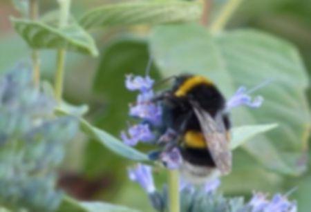 Wildbienen_Erdhummel.jpg