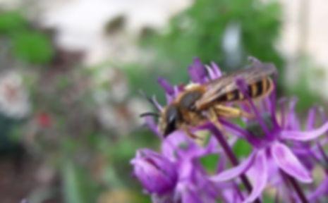 Wildbienen_Lebensweise_Furchenbiene.jpg