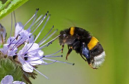 Wildbienen_Lebensweise_Erdhummel.jpg