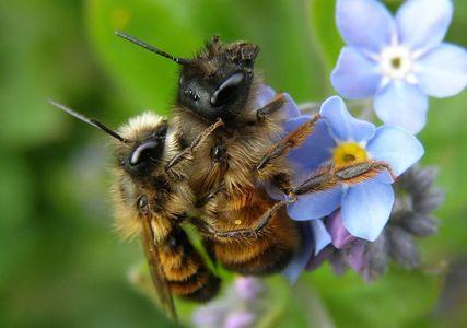Wildbienen_Fortpflanzung.jpg