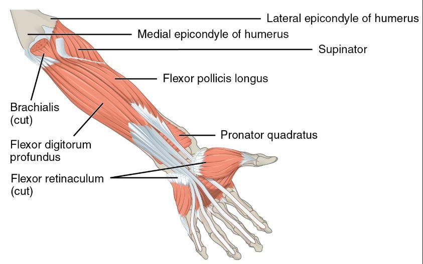 Forearm Flexors Deep