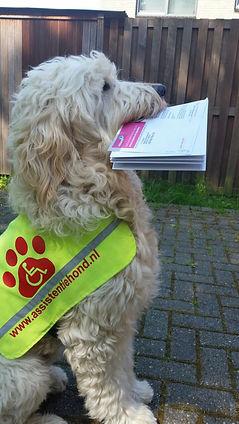 opleiding training coaching assistentiehond assitentiehond  epilespie autisme geleidehond, ass begeleiding, adopteer een pup, doneer een pup adopteer een pup, hulp hond, buddyhond, koning betatrix, prinses margriet, blindegeleidehond, help ons een hondje,