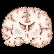 kisspng-coronal-plane-human-brain-neuroa