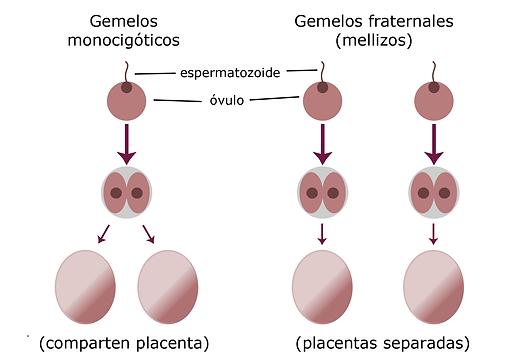 gemelos-identicos-y-fraternos.png