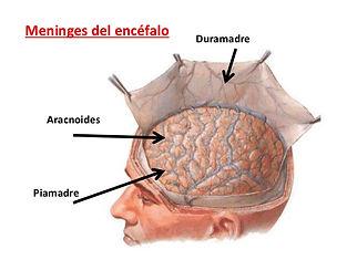 clase-2-meninges-u-2-11-638.jpg