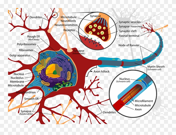 68-688433_819px-complete-neuron-cell-dia