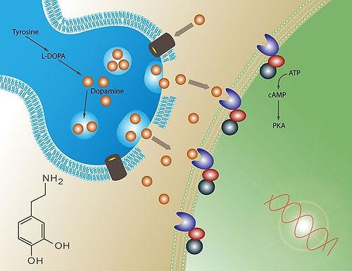 dopamina1.jpg