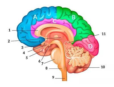 cerebro colores.jpg