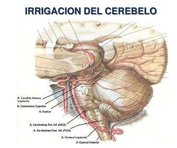 irrigación_del_cerebelo.jpg