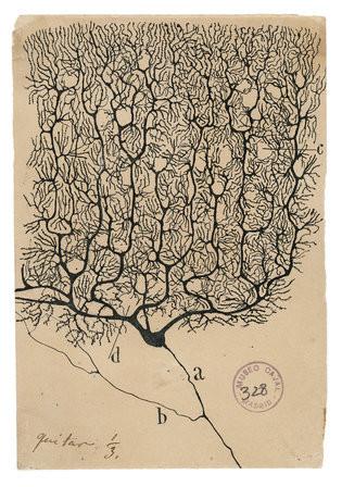cajal-purkinje-neuron-master315.jpg