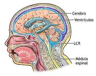 Sistema-Cerebroespinal.jpg