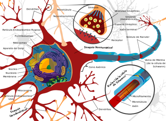 512px-Complete_neuron_cell_diagram_es.sv