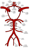 Circle_of_Willis_es.svg.png