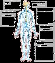 245px-Nervous_system_diagram-es.svg.png