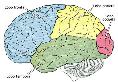 lobos-cerebrais.jpg