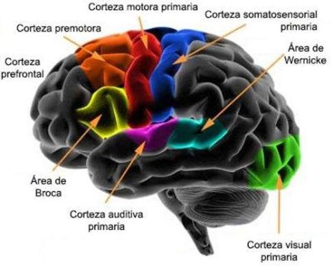 areas-corteza-frontal-400x322.jpg