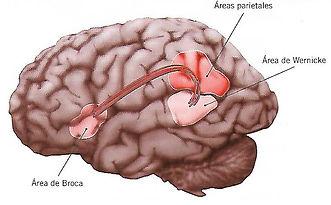 anatomia fasciculo arqueado.jpg