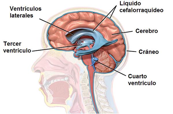 cerebro-y-LCR.png