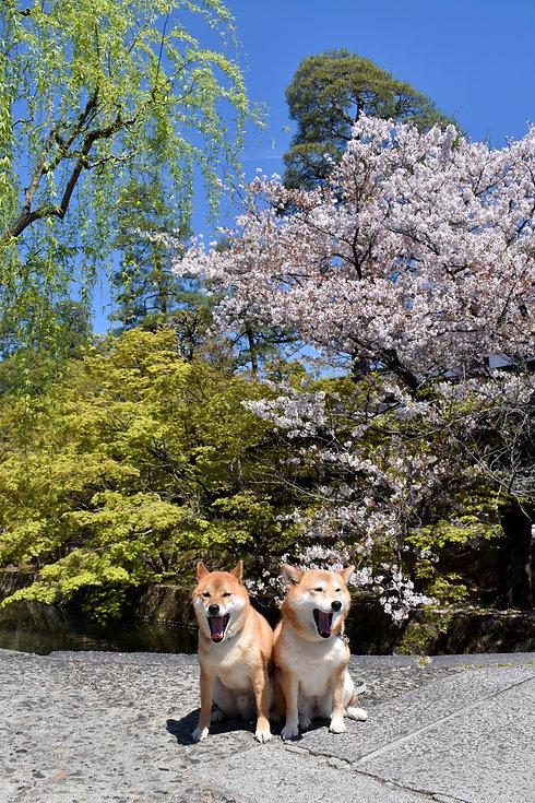 桜と犬.jpg