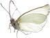 CW-butterfly©.png