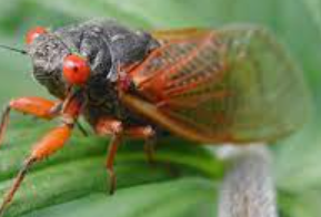Cicadas - What you need to do now to prepare.