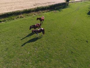 chevaux dans l'herbage des écuries