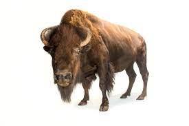 Bison Meatloaf Recipe
