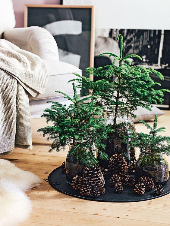 Kolme pientä kuusta on laitettu juurineen ja multineen kasvamaan lasisiin purkkeihin. Jouluasetelmaan on myös kerätty erikokoisia käpyjä ja sijoitettu ne kuusien juurelle.