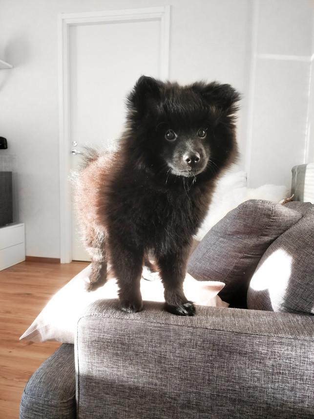 Lemmikkiperheen sisustus, mitä elämä kahden chinchillan ja koiranpennun kanssa on opettanut