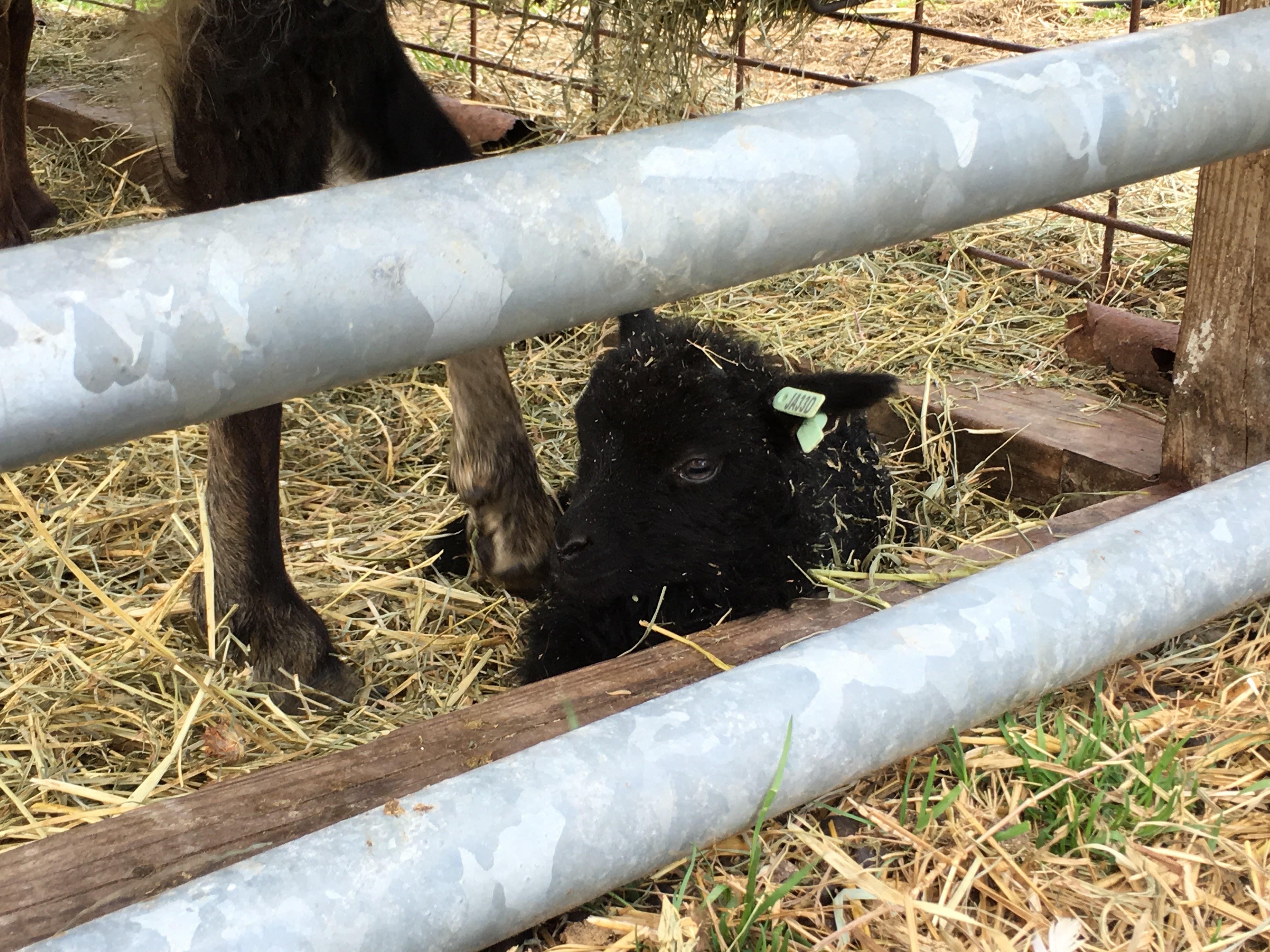 Icelandic Lambs at Tamarack Farm