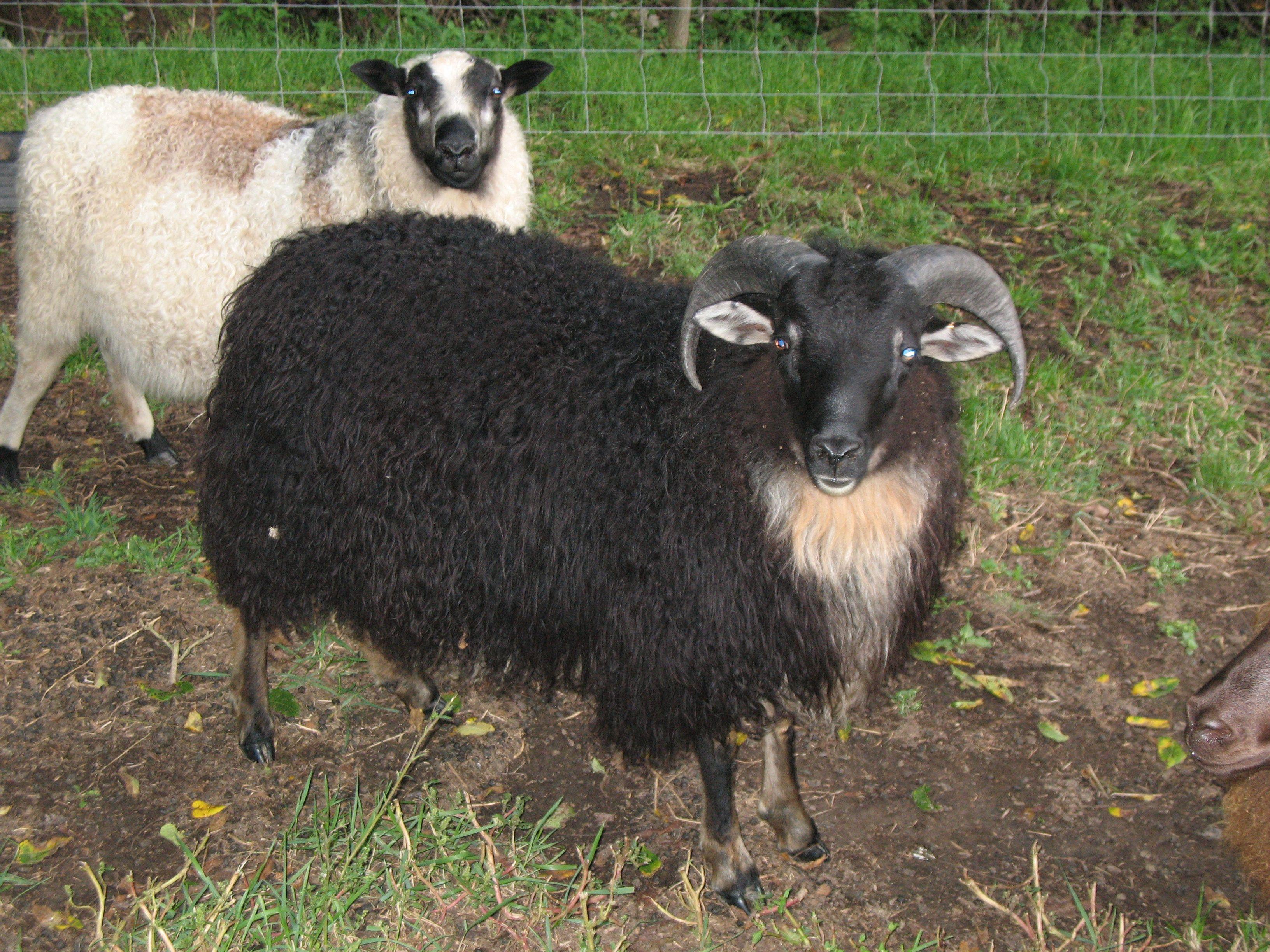 Horned Icelandic Ram - Tristan