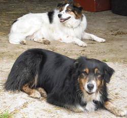 Tamarack Farm Sheep Dogs