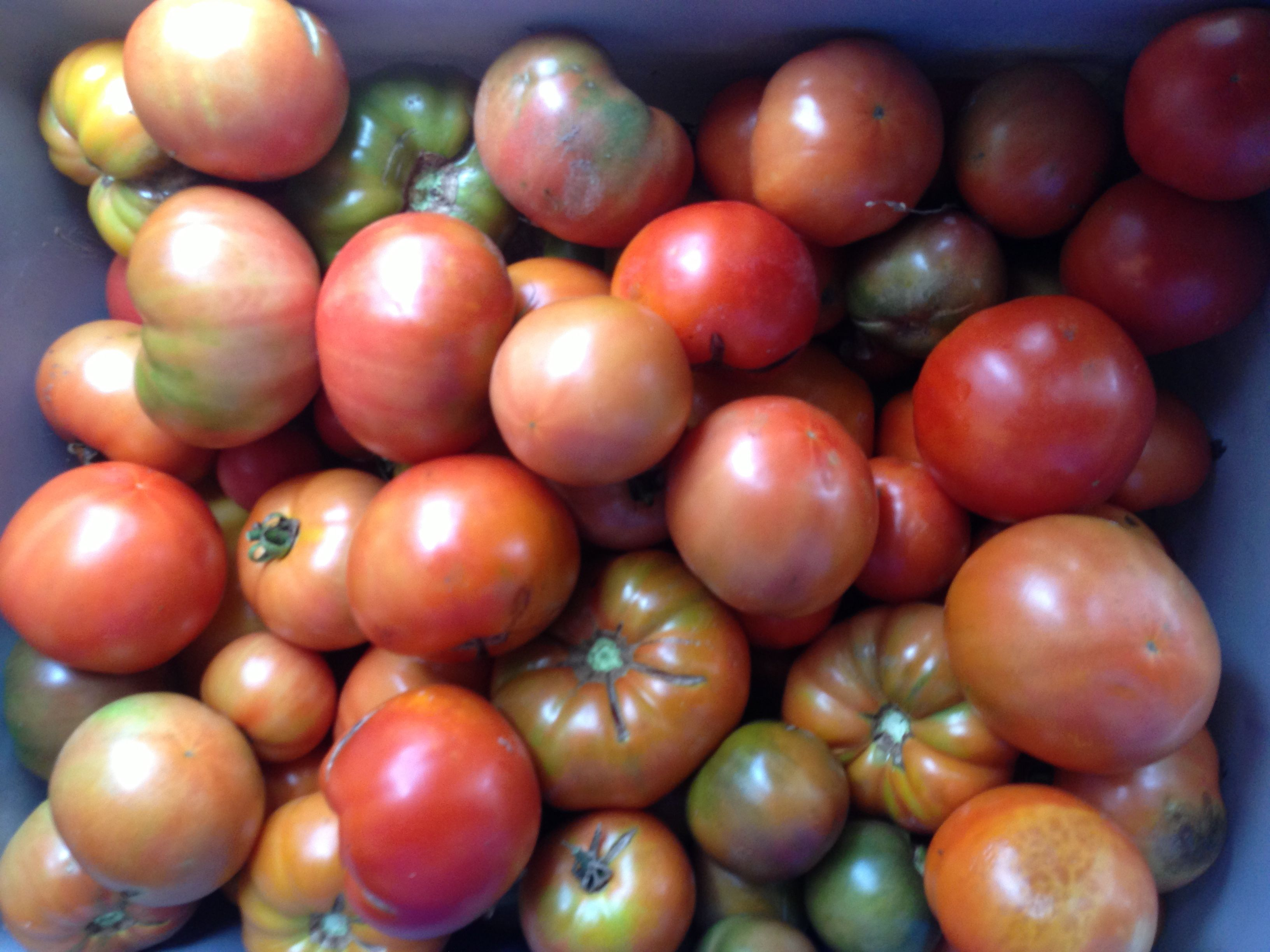 Heirloom Tomatoes at Tamarack Farm