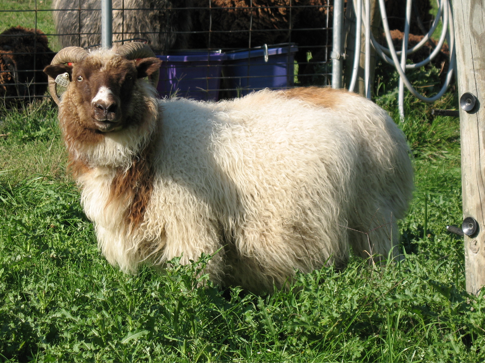 Horned Icelandic Ewe - Louise