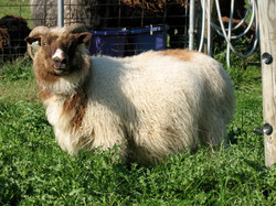 Horned Icelandic Ewe - Louise