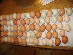 Multi-colored eggs at Tamarack Farm