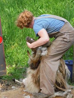 Shearing at Tamarack Farm