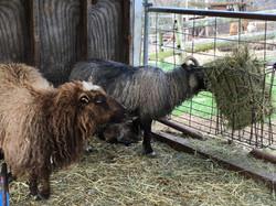 Icelandic Ewes - Breeding Stock