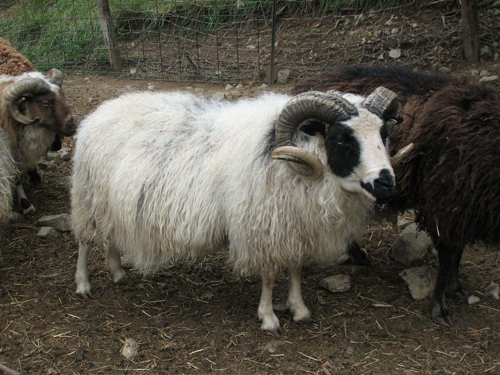 Horned Icelandic Ram - Tamarack Farm