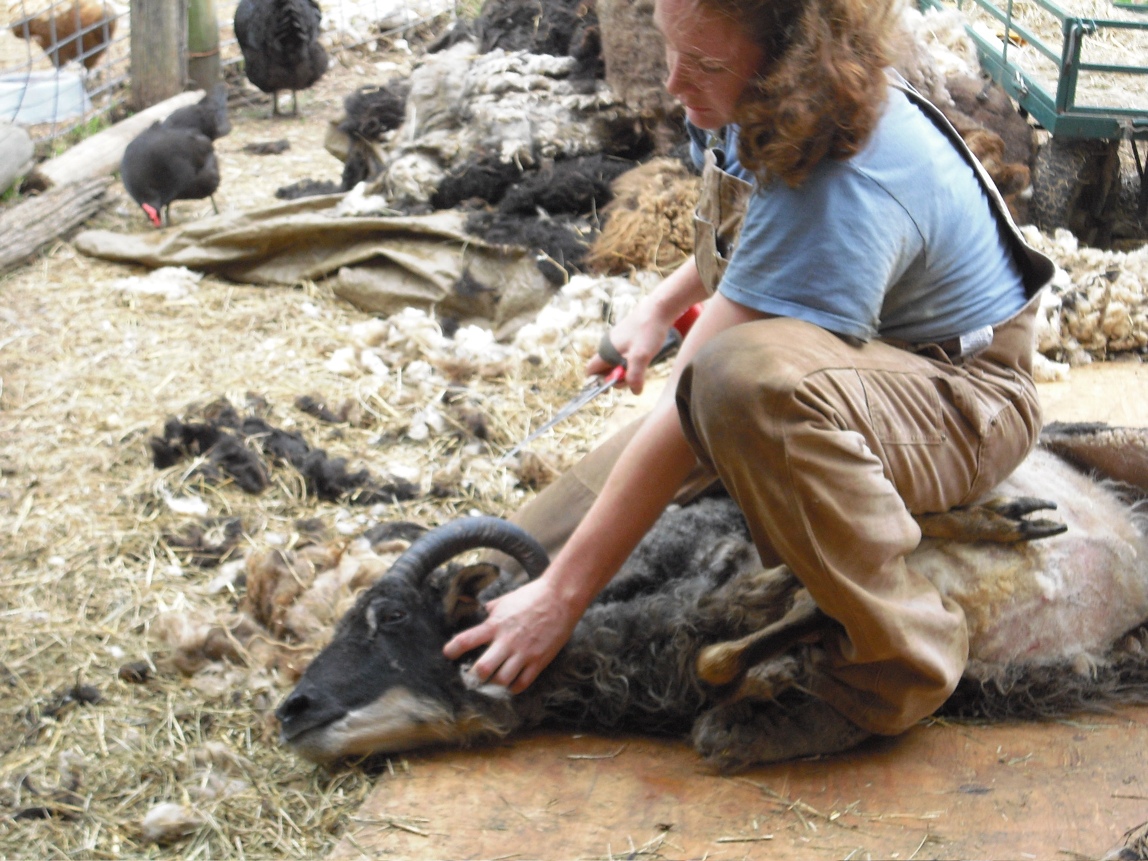 Tamarack Farm Wool - Shearing