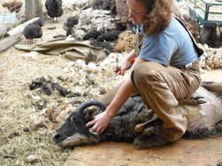 Tamarack Farm Wool - Shearing