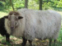 Polled Icelandic Ram - Vilhelm